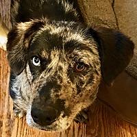 Adopt A Pet :: Porsche - Bedford Hills, NY