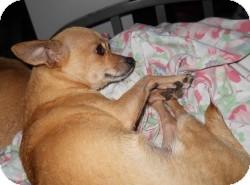 Chihuahua Mix Dog for adoption in Mesa, Arizona - Gretchen