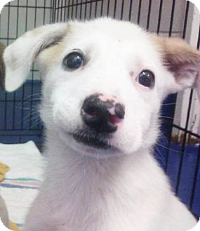 Labrador Retriever/Hound (Unknown Type) Mix Puppy for adoption in Richmond, Virginia - Greta