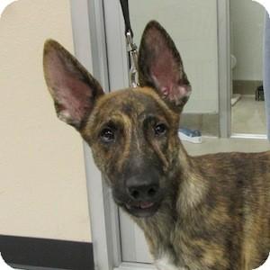 German Shepherd Dog Mix Puppy for adoption in Gilbert, Arizona - Tiger