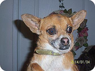Chihuahua Dog for adoption in Littlerock, California - Mia
