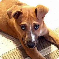 Adopt A Pet :: Angie - Sinking Spring, PA