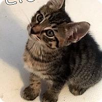 Adopt A Pet :: Lion - Trevose, PA