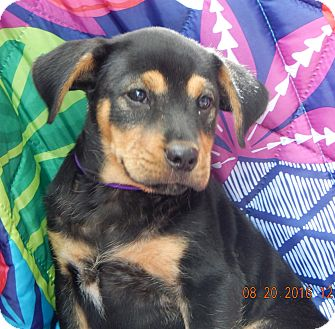 German Shepherd Dog/Rottweiler Mix Puppy for adoption in West Sand Lake, New York - Champ (7 lb) Video!