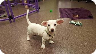 Dachshund/Labrador Retriever Mix Puppy for adoption in Phoenix, Arizona - Peeta