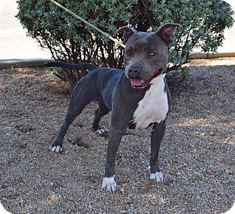 American Staffordshire Terrier Mix Dog for adoption in Sierra Vista, Arizona - Krystle