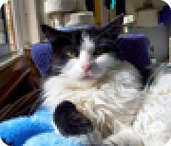 Domestic Mediumhair Cat for adoption in Mountain Center, California - Myrtle