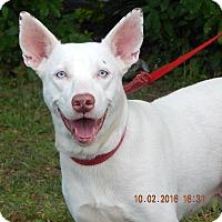 Husky/Kishu Mix Dog for adoption in Niagara Falls, New York - Diamond (53 lb) BLUE Eyes!