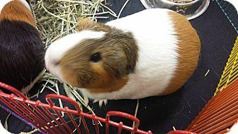 Guinea Pig for adoption in Palm Coast, Florida - Olivia
