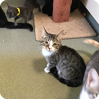 Domestic Shorthair Cat for adoption in Westminster, California - DW