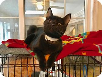 Domestic Shorthair Cat for adoption in East Stroudsburg, Pennsylvania - Ali