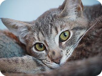 Domestic Shorthair Kitten for adoption in Los Angeles, California - Moriah