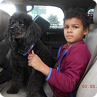 Poodle (Miniature) Dog for adoption in haslet, Texas - Jazzy