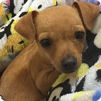 Adopt A Pet :: Lilly - Seattle, WA