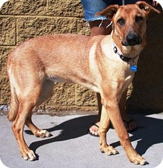 German Shepherd Dog Mix Dog for adoption in Gilbert, Arizona - Buttercup