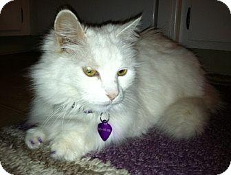 Turkish Angora Cat for adoption in Davis, California - Duchess