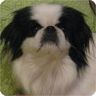 Japanese Chin Dog for adoption in Mays Landing, New Jersey - Chin Chin-NJ