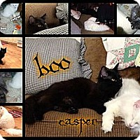Adopt A Pet :: Boo - Washington, DC