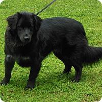 Adopt A Pet :: Bear - Normandy, TN