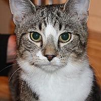 Domestic Shorthair Cat for adoption in Columbus, Ohio - CharlieJoe