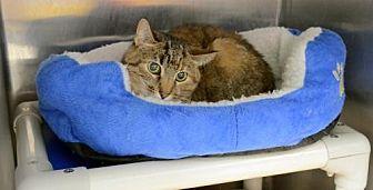 Domestic Shorthair Cat for adoption in Milwaukee, Wisconsin - Missy aka Autumn