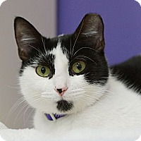 Domestic Shorthair Cat for adoption in Houston, Texas - Maggie