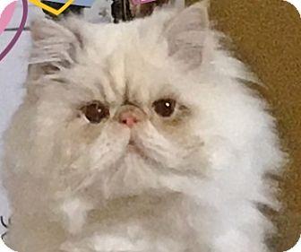 Persian Cat for adoption in Davis, California - Gemini