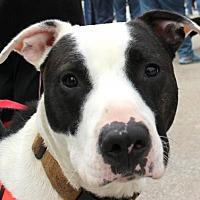 Adopt A Pet :: Clyde - Evanston, IL