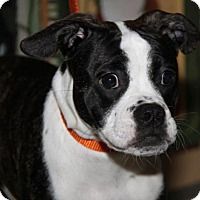 Adopt A Pet :: Amelia - APPLICATIONS CLOSED - Livonia, MI