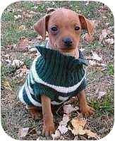 Miniature Pinscher Puppy for adoption in Florissant, Missouri - Murphy