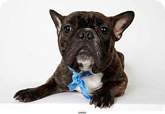 French Bulldog Dog for adoption in New York, New York - Marius
