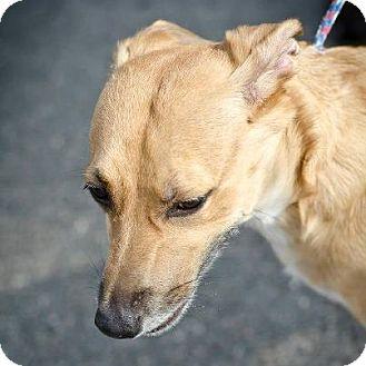 Labrador Retriever/Shepherd (Unknown Type) Mix Dog for adoption in Youngstown, Ohio - Honey Bear ~ Adoption Pending