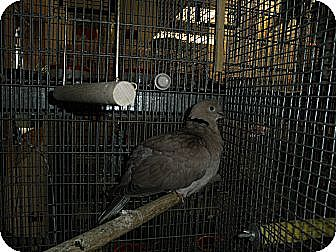 Dove for adoption in Neenah, Wisconsin - Ring Neck Doves