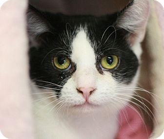 Domestic Shorthair Cat for adoption in Canoga Park, California - Abby