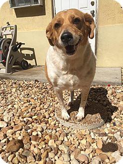 Beagle/Hound (Unknown Type) Mix Dog for adoption in Palmetto Bay, Florida - good girl