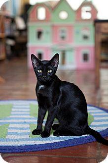 American Shorthair Kitten for adoption in Jacksonville, Florida - Bellatrix