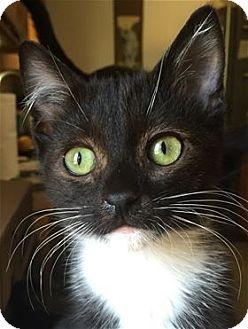 Domestic Shorthair Kitten for adoption in Lincoln, California - Jade