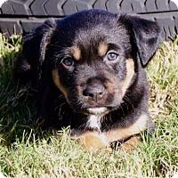 Adopt A Pet :: Rambler - Austin, TX