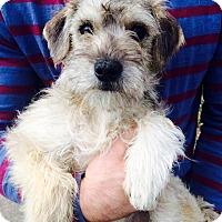 Adopt A Pet :: Sandy Beaches - Manassas, VA