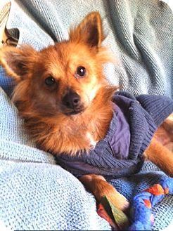Pomeranian/Papillon Mix Dog for adoption in Irvine, California - MAX