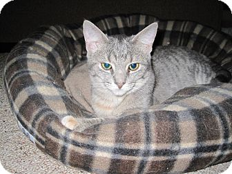 Domestic Shorthair Cat for adoption in Cleveland, Ohio - Cheers