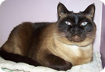 Siamese Cat for adoption in Grants Pass, Oregon - Earl Scrugsley