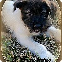 Adopt A Pet :: SCRAPPY - Bryan, TX