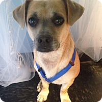 Adopt A Pet :: Bo - Chesterfield, VA