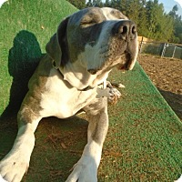 Adopt A Pet :: Huggable Hennessy - Issaquah, WA