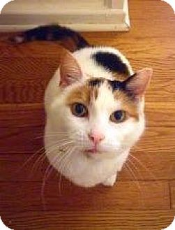 Domestic Shorthair Cat for adoption in Winston-Salem, North Carolina - Jigsaw