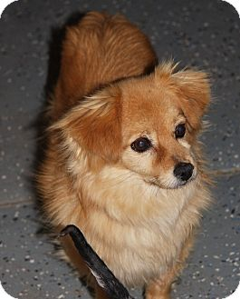 Pomeranian/Dachshund Mix Dog for adoption in Gilbert, Arizona - Barney