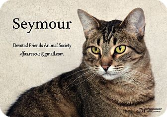 Domestic Shorthair Cat for adoption in Ortonville, Michigan - Seymour