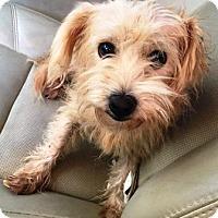 Adopt A Pet :: Halo - Gilbert, AZ