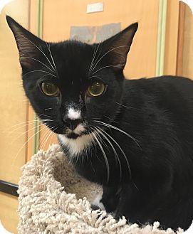 Domestic Shorthair Cat for adoption in Monroe, Georgia - Blue